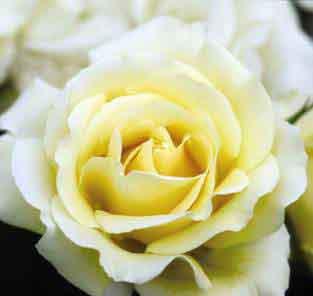 Centennial Rose