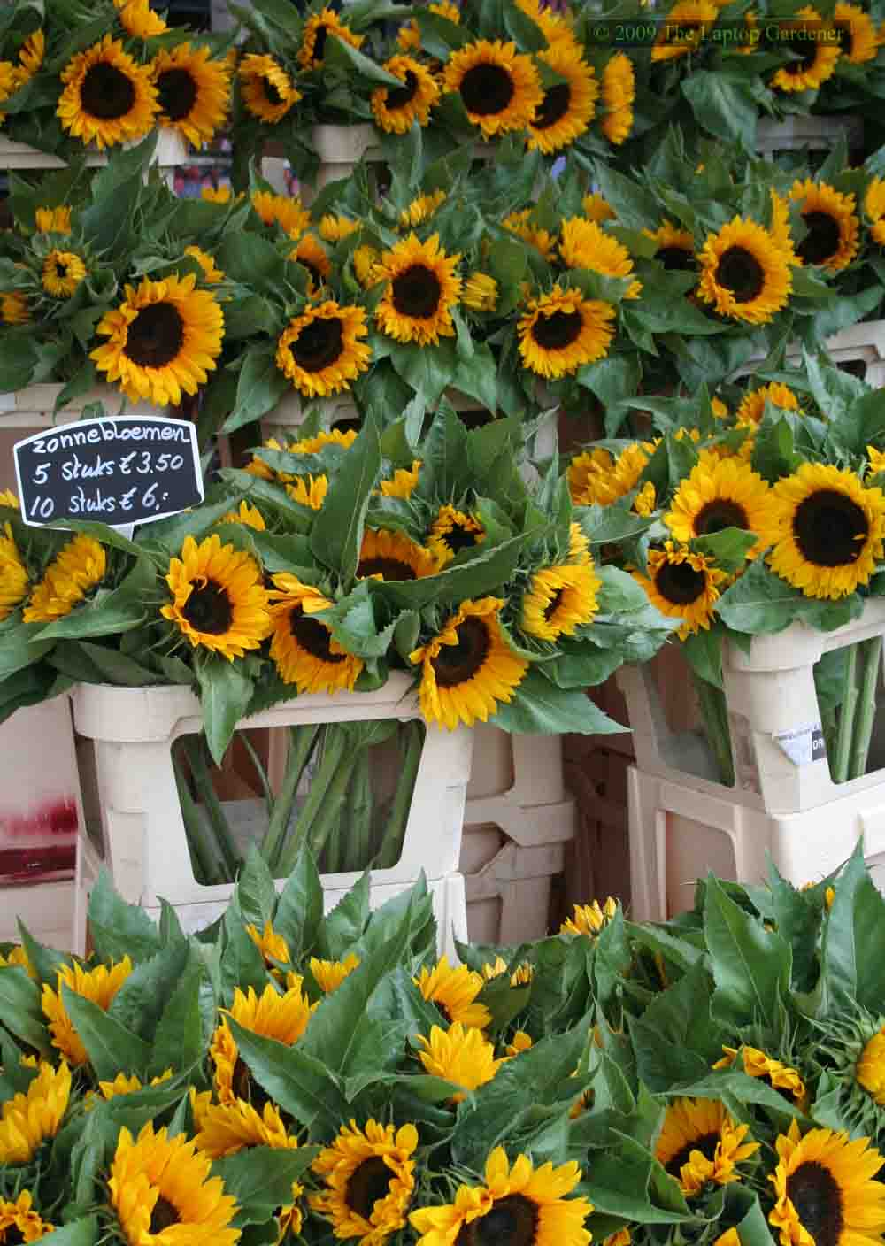 Cheery sunflower greetings at the floating flower market (Bloemenmarkt) in Amsterdam.