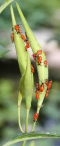 Brightly colored milkweed aphids