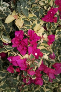 Bright and showy Bougainvillea in a hanging basket from Atwater Market in Montreal QC