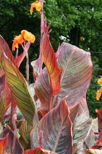Canna flowers just a few days prior to needing deadheading.