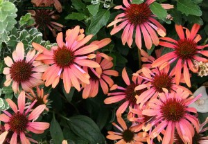 Stunning Echinacea Meadowbrite Orange blooms at thier peak