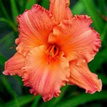 Afternoon Tea Time Daylily