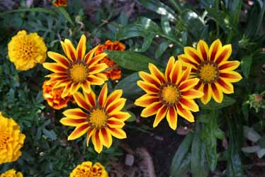Cheery Gazania 'Daybreak Red Stripe' with marigolds