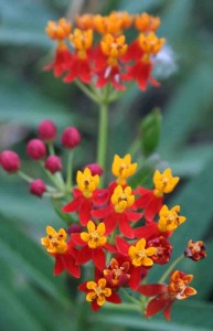 Buds and blooms on the Mexican Milkweed