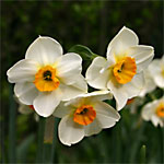 Narcissus 'Beautiful Eyes' a Jonquil Hybrid
