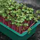 Purple radish seedlings ideal for sandwiches, soups or salads.