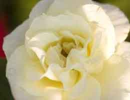 Macy's Pride Rose