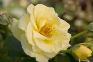 High Voltage Rose