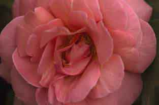Kiss Me Rose