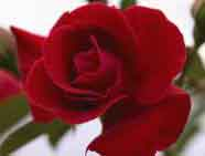 Paint the Town Rose