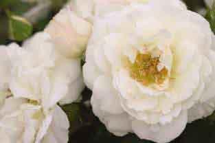 Snowdrift Rose