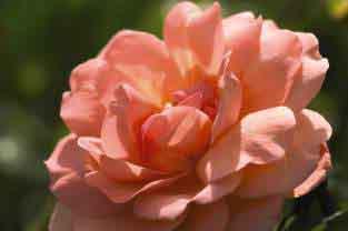 Sweet Fragrance Rose