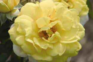 Yellow Brick Road Rose