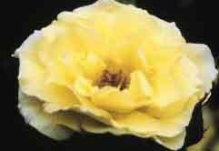 Rosa Yellow Submarine