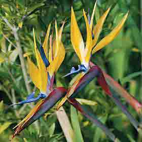 'Mandela's Gold' Bird of Paradise