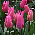 Tulip 'Jazz'