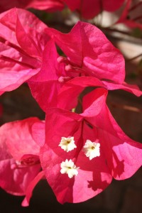 Up close to the real Bougainvillea flower