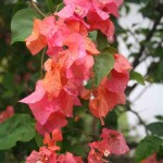 Bougainvillea flowers after the rain in Langkawi