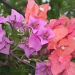 Bougainvillea in Langkawi