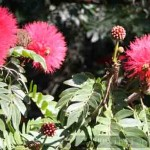 Calliandra in the Bok Tower Garden