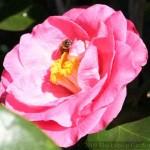Camellia at Bok Tower Gardens