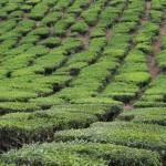 Trimmed tea plants at the Cameron Highlands Tea Plantation