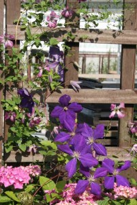 Several types of Clematis growing up a trellis