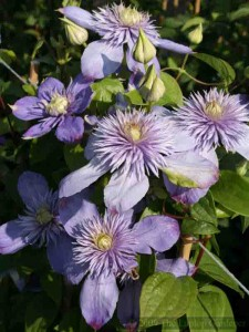 Clematis 'Blue Light' Pruning Group 2