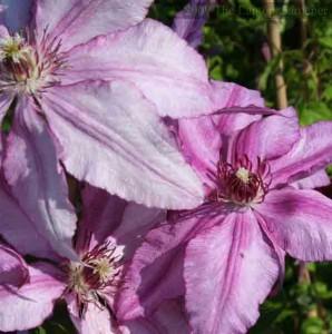 Clematis 'John Warren' Pruning Group 2
