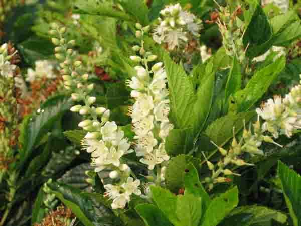Clethra Alnifolia Pruning Clethra Alnifolia 'compacta'