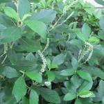 Clethra alnifolia 'Compacta' (Dwarf Summersweet)