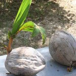 Coconut sprouting at Laman Padi in Langkawi