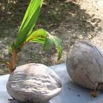 Coconut sprouting at Laman Padi in Langkawi