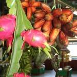 Dragon Fruit and red bananas at the Tropical Fruit Farm on Penang Island