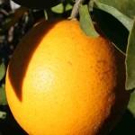 Florida's Natural Grower's Grove House orange