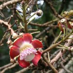 Flowers of the Cannonball Tree at Penang Botanical Garden