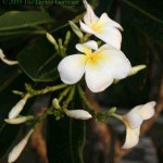 Fragrant Frangipani at sunset in Langkawi