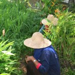 Gardeners at work in the Rice Museum (Laman Padi) in Langkawi
