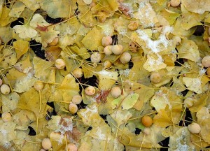 Camouflaged and deadly offensive ginkgo fruit among the recently fallen ginkgo leaves.