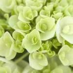 Endless Summer Blushing Bride Hydrangea