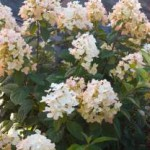First Edition Tickled Pink Hydrangea