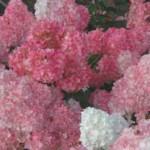 First Editions Vanilla Strawberry Hydrangea