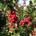 Ilex Red Beauty 'Rutzan' (Red Beauty Holly)