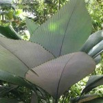 Silver Joey Palm (Johannesteijsmannia magnifica) at the Tropical Spice Garden