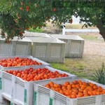 Just picked citrus at Lang Sun Country Groves