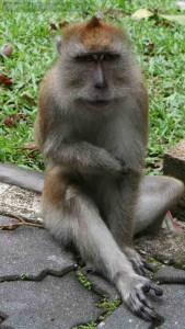 Long-Tailed Macaques at Penang Botanical Garden