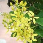 Maiden's Jealousy in Putrajaya Botanical garden