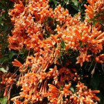 Mexican Flame Vine (Pyrostegia venusta) at Taste of Florida Cafe