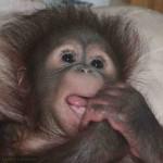 An orang utan baby in the nursery of Orang Utan Island